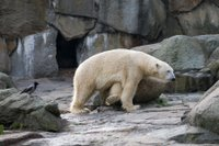 Polar bear at the Berlin Zoo, Germany