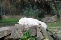White wolf at the Berlin Zoo, Germany