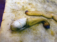 Elephant clam, lying on the floor of a restaurant, looking disgusting, in Shantou
