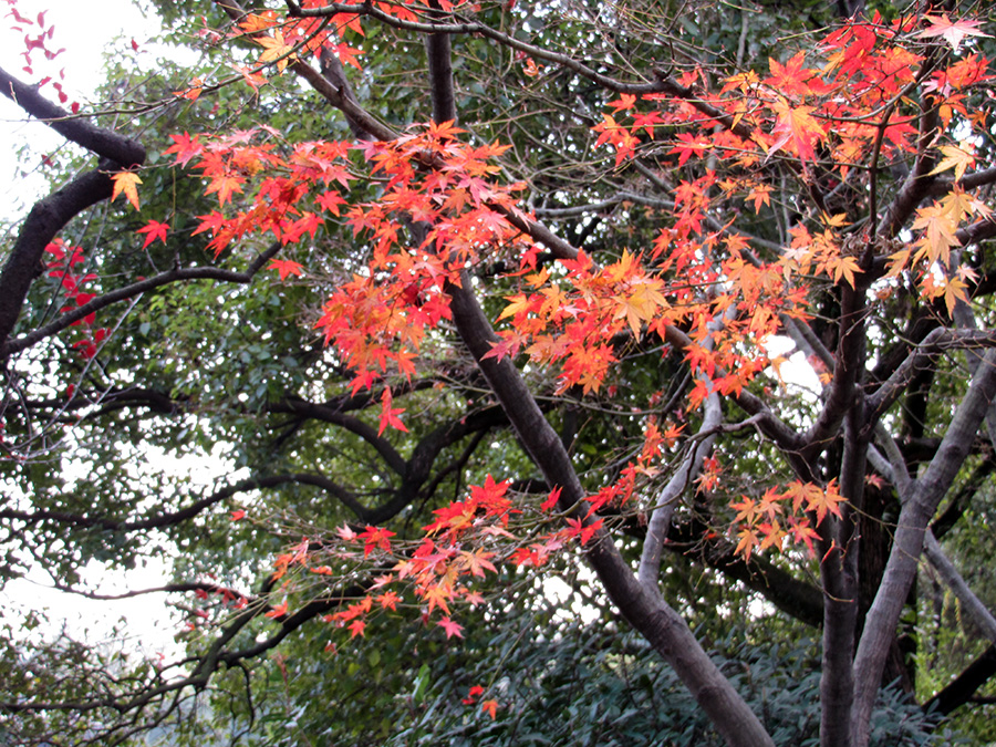 Autumn leaves on a tree by West Lake